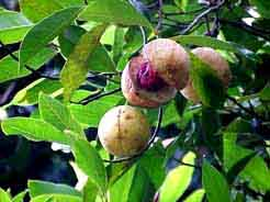 Grenada: Die nutmeg - the main export produce - is visible also on the flag
