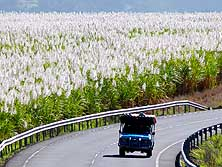 Mahébourg-Blue Bay/Mauritius: Sugar cane fields