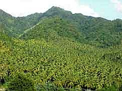 St. Vincent: Groves of palm trees near Layou on the West coast