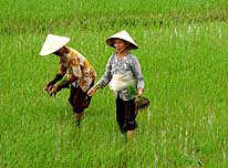 Vietnam: Two country woman are cultivating a rice field