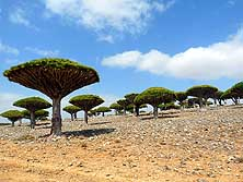 Dicksam Plateau/Socotra Island/Yemen: Forest of Dragon Blood Trees